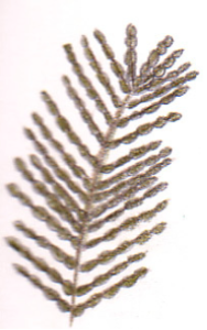Kardii illustration
